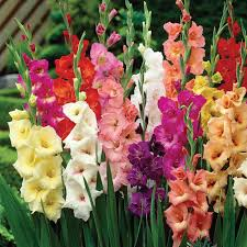 zyverden gladiolus colossal large sized flowering rainbow