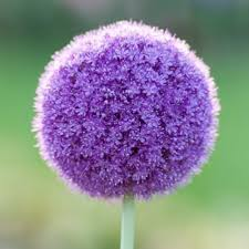 allium flowers 25 bulbs allium purple sensation flowering bulbs