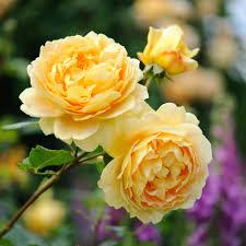 golden celebration david roses