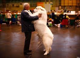boxer dog crufts 2015 est100 一些攝影 some photos crufts dog show in birmingham