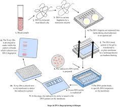 steps of dna fingerprinting dna fingerprinting
