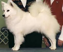 american eskimo dog black american eskimo dog