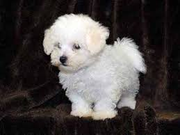 bichon frise dog breeders bichon frise puppies for sale bichon frise dog breeders