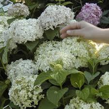 hydrangea white hydrangea wee white compact flowering shrub for shade hedge plant