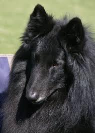 belgian shepherd national specialty chancery belgians