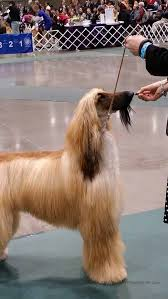owning an afghan hound admiring non dachshund breeds at the skc dog show