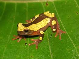 tree frogs u2014newly discovered and already threatened