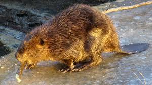 beaver holding stick ngsversion 1396530433730 jpg
