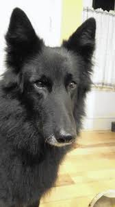 belgian sheepdog illinois dog credited with waking richmond homeowner in sunday fire lake