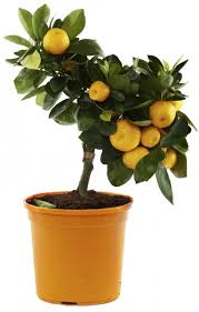 orange tree container gardening best orange trees for pots