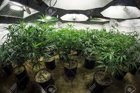 room with plants indoor marijuana grow room with plants in soil under lights stock