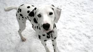 dalmatian puppies born plain white coat