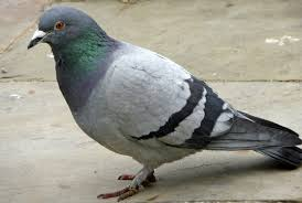 the meaning and symbolism of the word pigeons