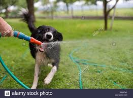 dog playing with hose stock photos u0026 dog playing with hose stock