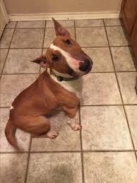belgian sheepdog rescue texas dallas tx bull terrier meet maggie a dog for adoption