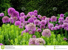 purple flowers in an english garden stock photo image 42155200