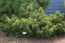 mugo pine trees select mops for a cultivar
