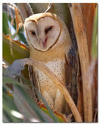 Where Does The Barn Owl Live Common Barn Owl Barn Owl Desertusa