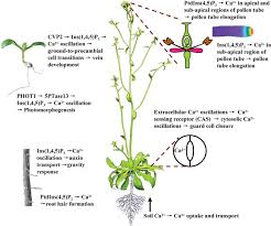 Where Is The Pollen Produced In A Flower - function and regulation of phospholipid signalling in plants
