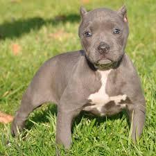 american pitbull terrier gotti razors edge puppies 3