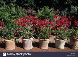 terracotta pots and red roses in the alchemist u0027s garden mas de la