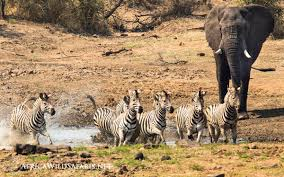 Beach House Zebra Tab by Photography Safaris And Underwater Adventures Follow Our