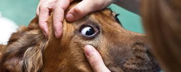 Blind Dog Eye Discharge Eye Infections In Cats And Dogs