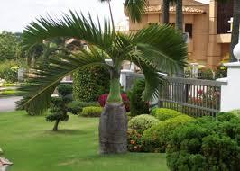 sylvester palm tree sale palm trees for sale punta gorda