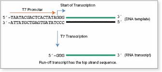 hiscribe t7 high yield rna synthesis kit neb