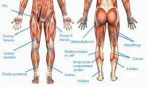 Anatomy Of Body Muscles 3 Solutions To Skinny Legs And How To Build More Muscle
