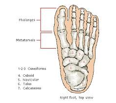 Top Foot Anatomy Foot Anatomy