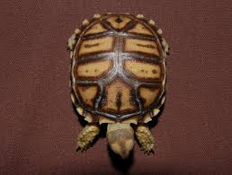 Ringed Map Turtle One Of A Kind Sulcatta Tortoise For Sale From The Turtle Source