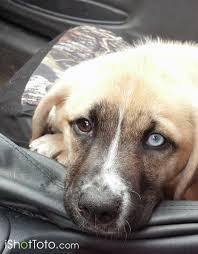 australian shepherd hound mix australian shepherd dog pictures buddy ishottoto com