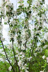 authentic landscape blooming apple trees against the sky backli