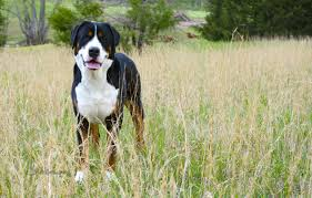 Dog Wallpapers Greater Swiss Mountain Dog Wallpapers Hd Download