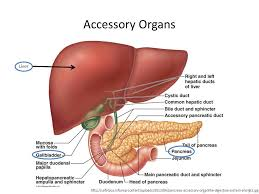 organs of the digestive system choice image diagram writing
