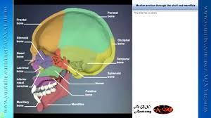 3d Head Anatomy Human Anatomy Illustration 3d Head And Neck Youtube