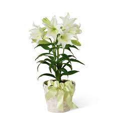 white lillies white plant at send flowers