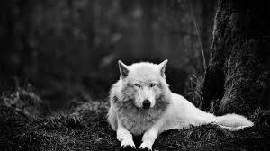 white wolf wallpaper hd wallpaper wallpaperlepi