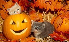 halloween kittens cats two halloween fall pumpkins animals leaves kittens cat image