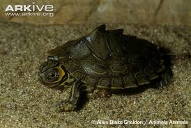 map turtle barbour s map turtle photo graptemys barbouri g104890 arkive
