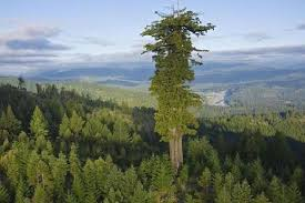 hyperion is the world tallest tree its location is kept secret