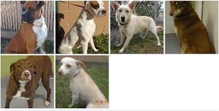 bearded collie adoption purebred dogs and beautiful cats available for adoption at klein