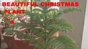 araucaria plant christmas tree in pots youtube