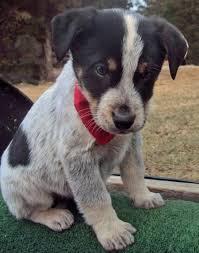 bluetick coonhound mix puppies 152 best coonhound love images on pinterest