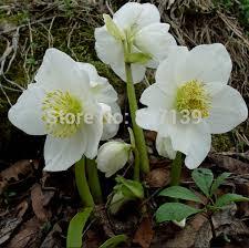 new home garden plant 5 seeds helleborus niger