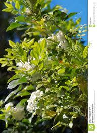 murraya paniculata large orange jasmine orange blossom stock image image of jasmine blossom 35563805