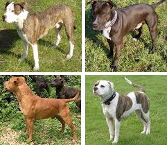 american pitbull terrier in india pit bull wikipedia