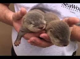Sea Otter Meme - baby otters sea world orlando 2009 youtube