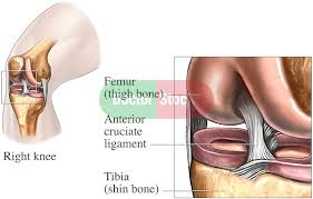 Right Knee Anatomy Anatomy Of The Anterior Cruciate Ligament Doctor Stock